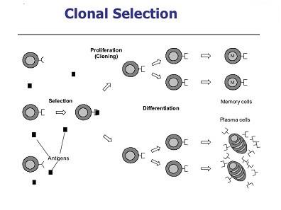 1 الگوریتم بهینه سازی ایمنی مصنوعی (AIS )